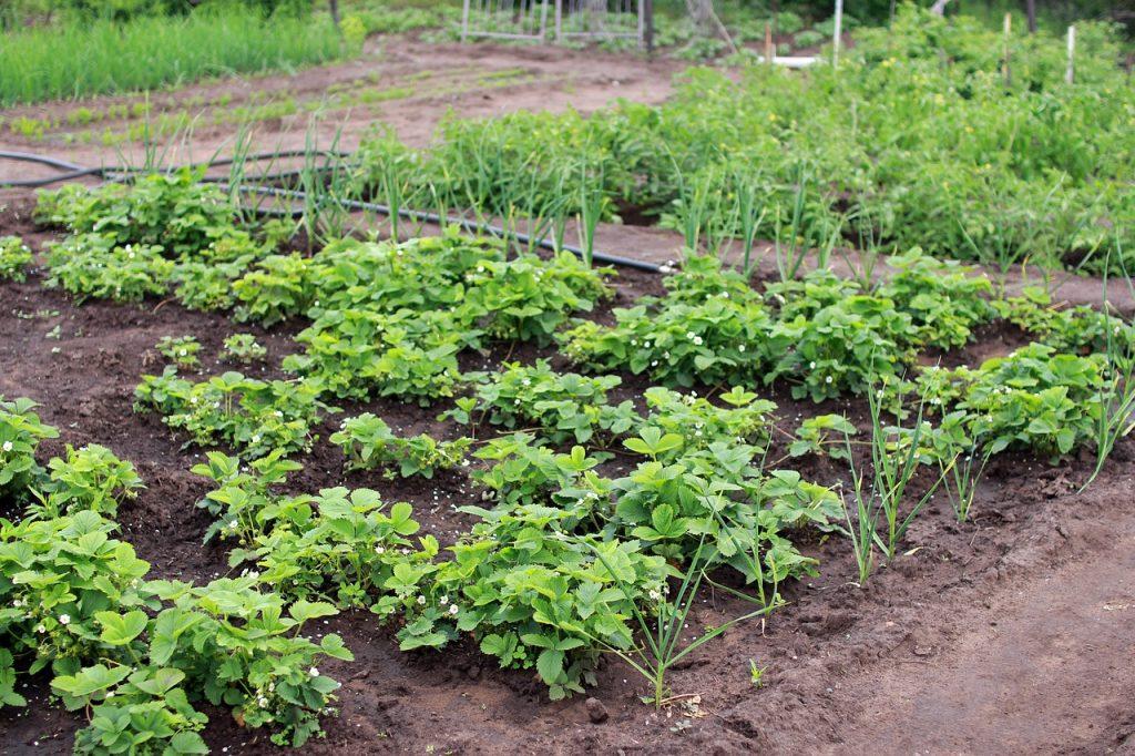 jardin en potager