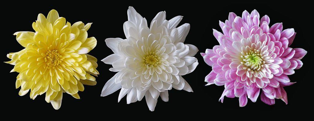 Chrysanthème pour le jardin