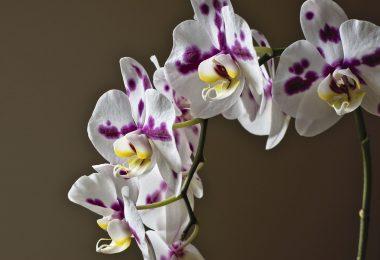 Les orchidées a tige sèche